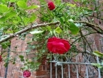 Rose (mit HDR+, schöne Tiefenschärfe)