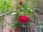 Rose (ohne HDR, schöne Tiefenschärfe)